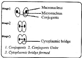 2316_Cytoplasmic bridge.png